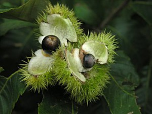 Chinquapin Nut/Chinkapin Nut