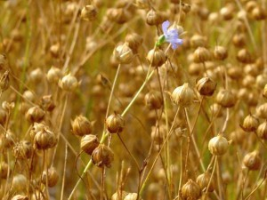 Field of Flax Fiber