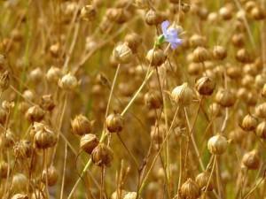 Field of Flax Fiber
