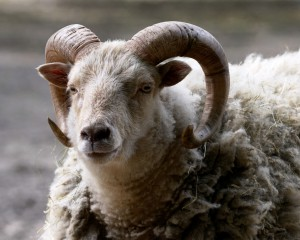 AlanCradick_Animal Sanctuary_Ram